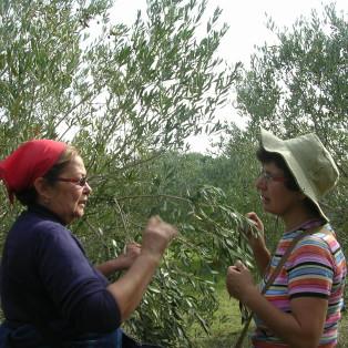 raccolta olive azienda agricola